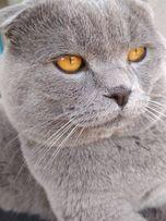 Шотландський висловухий котик шукає наречену