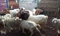 Image of RSA live stock goats sheep and cow best price in town