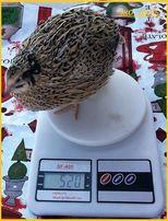 Яйца инкубационные перепела Феникс Золотистый - бройлер (Франция)