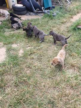 Great Dane cross puppies available