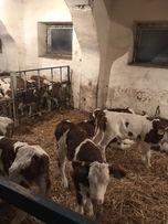 Mięsne Byczki Cielęta Czysta rasa