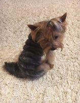 Стрижка собак ( йорков ) 140 грн.