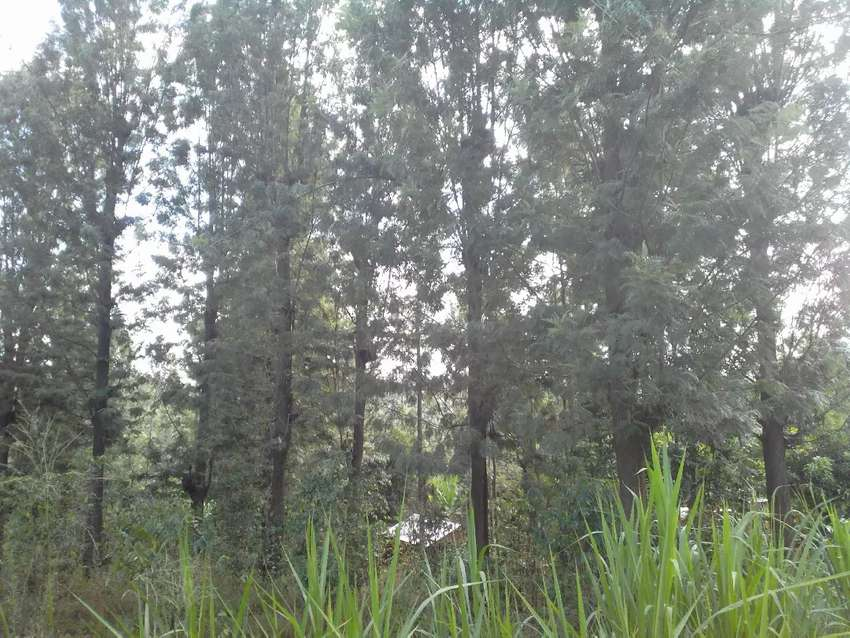 Mature grevillia trees  over 30 yes old @ sh 40000 average 0