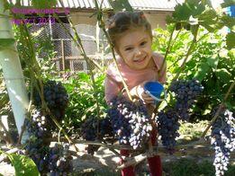 Обрезка винограда, уход за виноградником, агротехника природного земл.