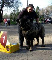 Кавказская овчарка - титулованный, развязанный, адекватный