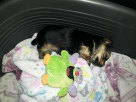 1male yorkie pup black traditional