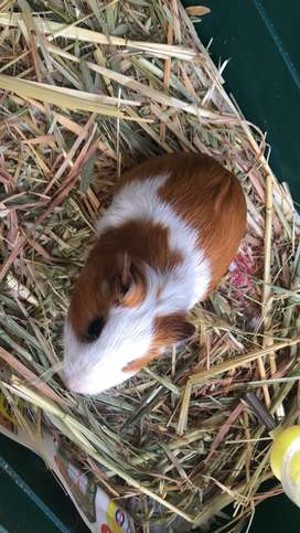 Guinea pig and cages