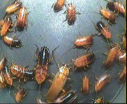 Насекомые на Павловом Поле: Туркменский таракан