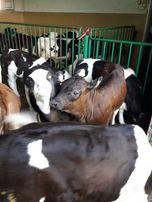 Byczki mięsne warka polskie