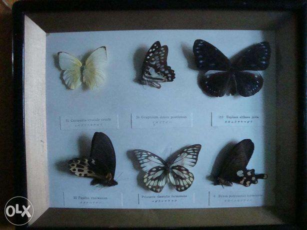 Kolekcja motyli Attacus Atlas 1 szt Urania leilus 1 szt i inne Brzeg - image 7