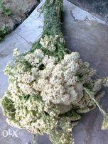 Тысячелистник, лекарственные травы