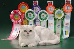 Британский кот серебристая шиншилла с колорным и золотым геном - ВЯЗКИ
