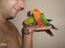 Полностью ручной большой попугай аратинга Яндашка