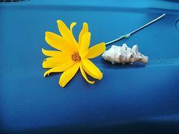 Topinambur duze ilości hurt taniej topinambur słonecznik bulwiasty