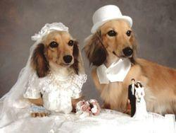 Вязка собак своими кобелями француз,мопс,чихуахуа,мастино наполетано,с