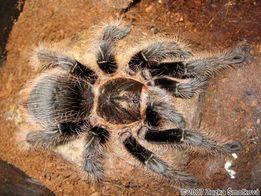 паук птицеед Brachypelma albopilosum (брахипельма альбопилозум)