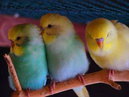 Волнистые попугаи ручные птенцы и подростки ярких окрасов домашние.