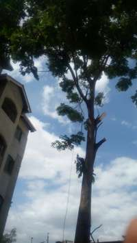 Dangerous Tree Cutting and Pruning 0