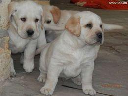 Случка ( вязка) собак всех пород опытным инструктором.