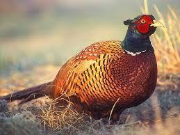 фазан охотничий