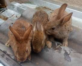 RABBITS FOR SALE (FLEMISH GIANT) FOR SALE