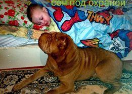 Вязка собак китайский Шарпей