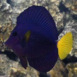 Looking for a purple tang