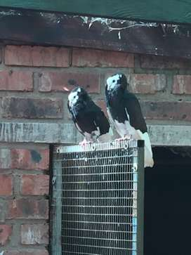 Cuppachine pigeons for sale