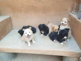 Meltesse puppies for sale - 8 weeks old