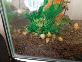 Apple Snails, Guppies, Mollies and Platy's
