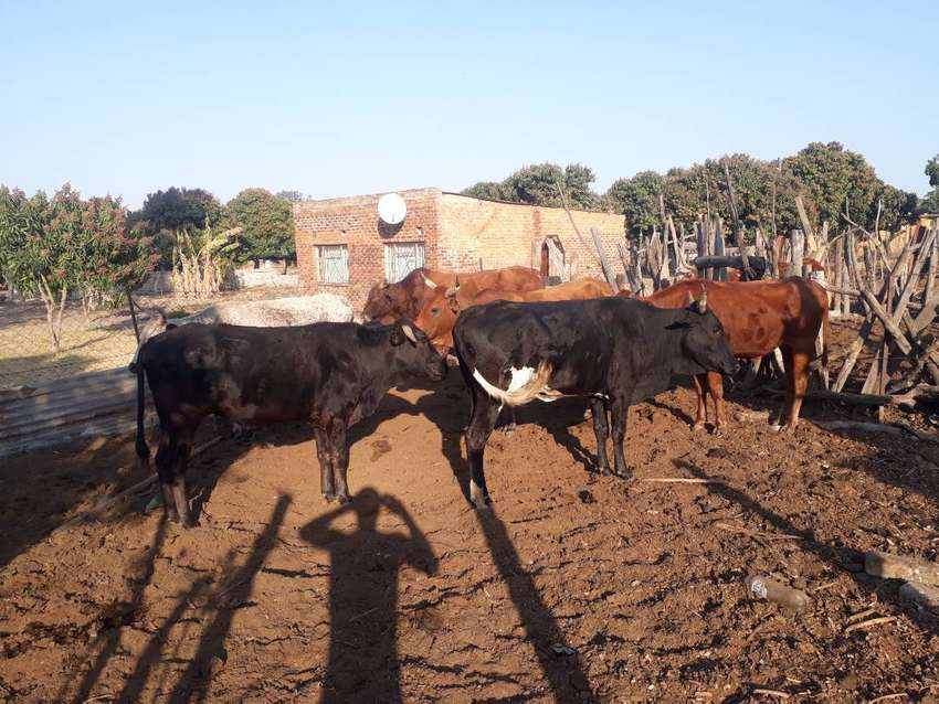 For sale cows 0