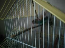 Love bird te koop