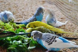 продам волнистых попугаев домашнего разведения.