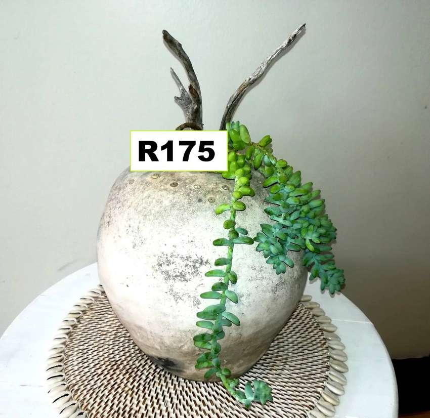 Stunning choice of potted plants for sale . Pg 6. Bloubergsands