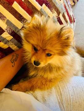 A 4 months old Pomeranian puppy for sale