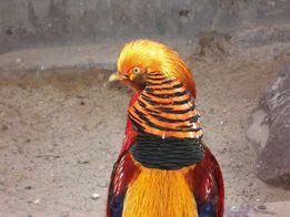Домашний питомник продает золотых фазанов не дорого!!!