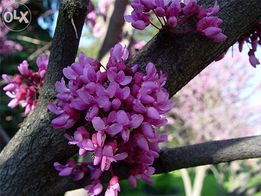 Продам саженцы церциса,лимонника, бархата амурского, винограда вичи