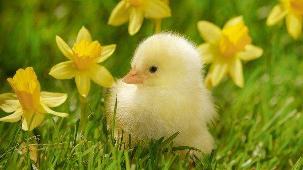 Цыпленок Бройлера (суточный) Цыплята Курчата добові Херсон и область Херсон - изображение 1