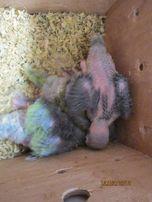 Попугаи ожереловый,волнистый,карелла птенцы