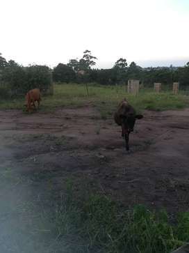 6 months old calve for sale