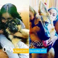 German Shepherd %100 for Sale in port Harcourt male & female 0