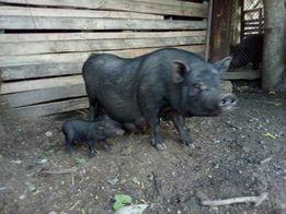 Вьетнамская вислобрюхая свинья (поросята)