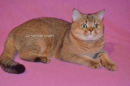 Шотландский прямоухий золотой тиккированный кот приглашает на вязки