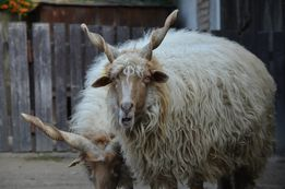 Рацка овца с спиралевидными рогами