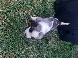 Only 1 Saint Bernard puppy (smooth coated) available