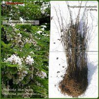 Robinia biała (akacja) - sadzonki 40-70 cm - Wysyłamy kurierem