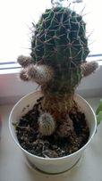 Kaktus kulisty w doniczce, wysokość rośliny 19 cm