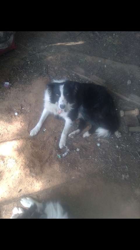 Border Collie for sale 0