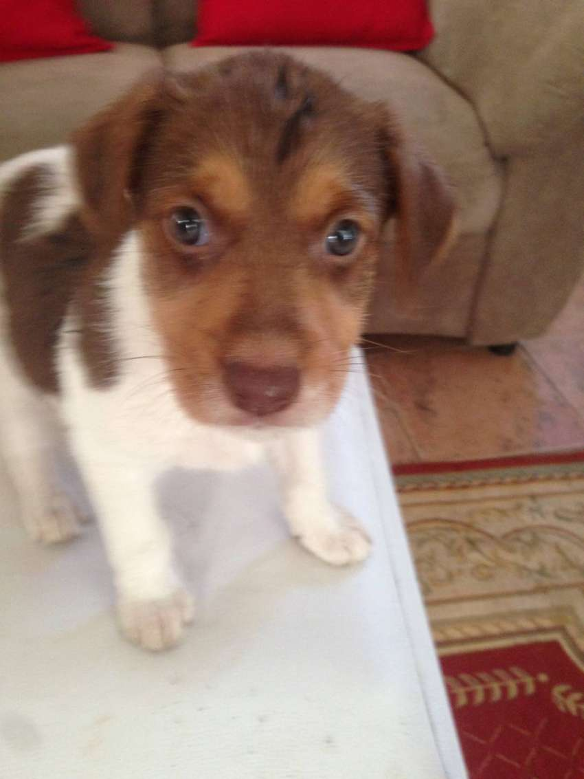 Cross breed (large breed ) puppies for sale 0