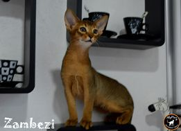 Абиссинские котята - элита кошачьего мира .